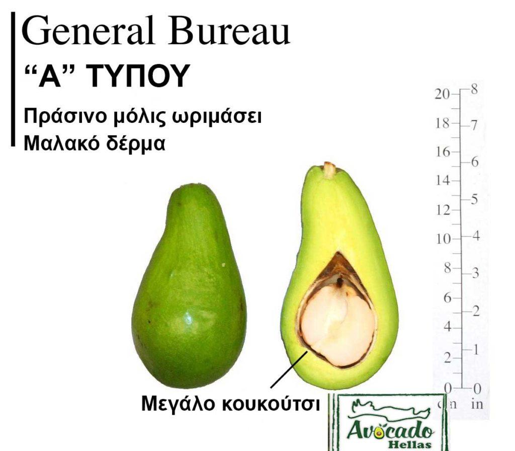 Ποικιλία Αβοκάντο Κρήτης General Bureau