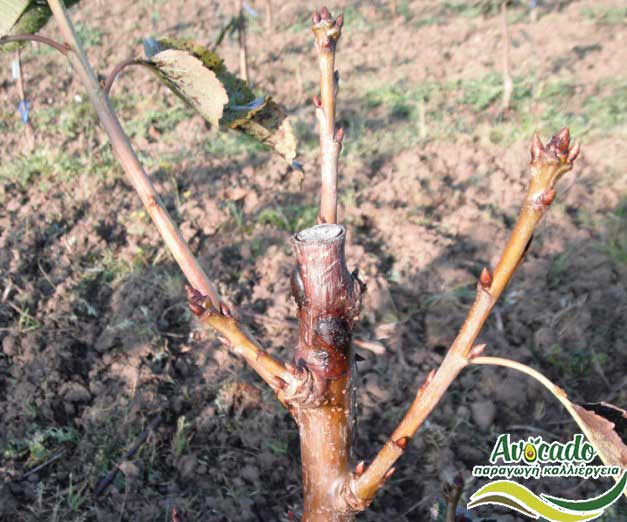 Phytophthora cinnamomi, AVOCADO CULTIVATION, CULTIVATION PRICE MARKET BUY, TREE/TREE PLANT, MARKET PLANTS, nursery, 2019, 2020, 2021, wholesale prices, producer prices,