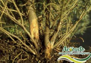 AVOCADO CULTIVATION, CULTIVATION PRICE MARKET BUY, TREE/TREE PLANT, MARKET PLANTS, nursery, 2019, 2020, 2021, wholesale prices, producer prices,