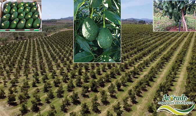 Malouma-hass-cultivation-Μαλουμα χασ καλλιέργεια-ελλαδα
